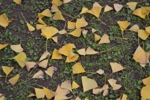 入口のイチョウの落ち葉