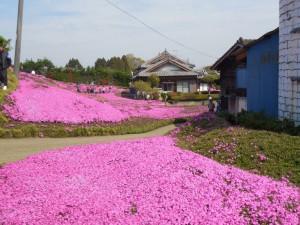 黒木さんが、奥様の為に、20年かけて造られた、自宅庭の芝桜