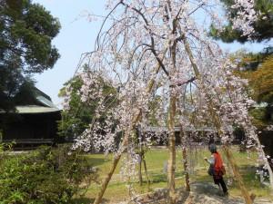 篠山城跡の枝垂桜、満開です。