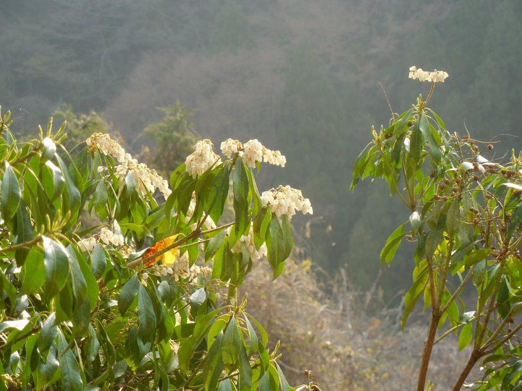 朝、外を見ると、白い鈴の様な花が沢山咲いていました。