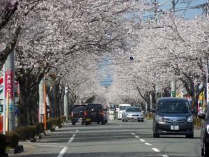 母智丘公園に向かう、桜並木