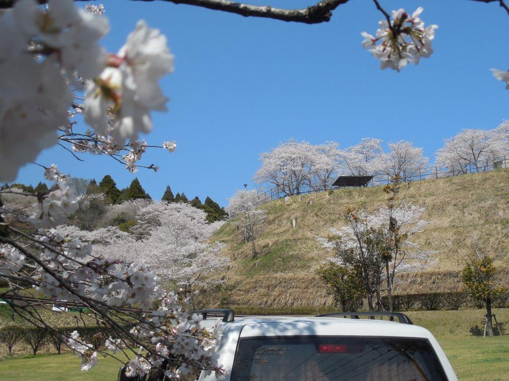 駐車場で一休み、桜三昧