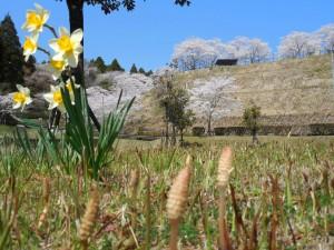 母智丘公園の裏口、土筆と水仙