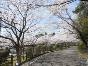 母智丘公園桜並木