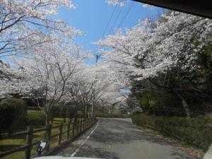 母智丘公園桜並木が続きます