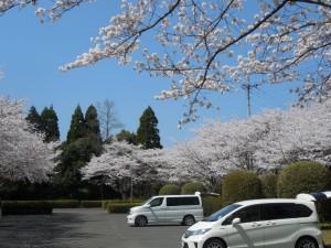 母智丘公園駐車場の桜