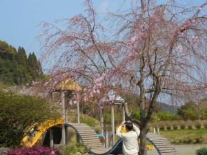 枝垂桜はもう少しで満開