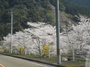 渓谷は、桜の雲